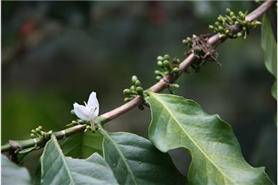 Picture Of Coffee Flower