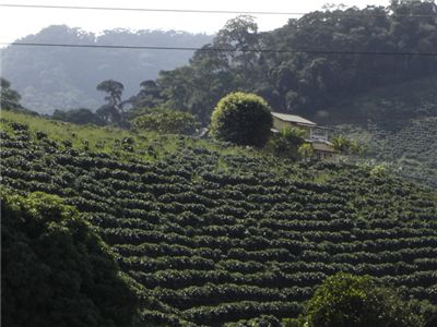 Picture Of Coffee Plantation