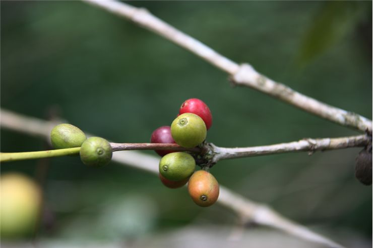 Picture Of Coffee Seed