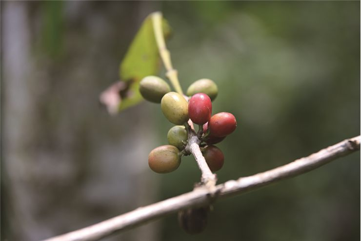 Picture Of Green Coffee Seed