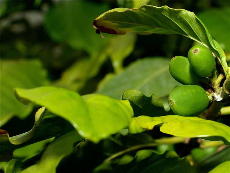 Picture Of Green Fresh Coffee Beans