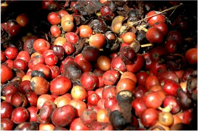 Picture Of Kopi Luwak Or Civet Coffee