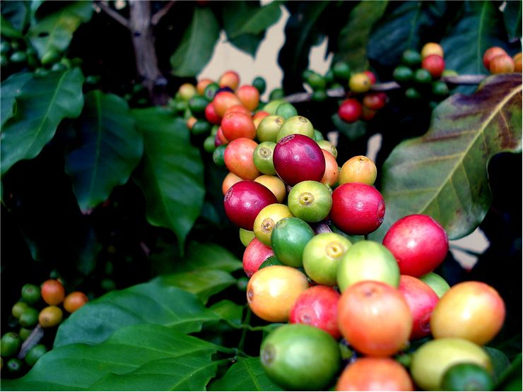 Picture Of Tree Of Coffee